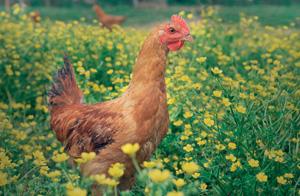 ridgeway-img-poultry-1.0